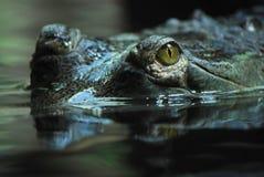 gavial gavialis Ινδός gangeticus Στοκ Εικόνα