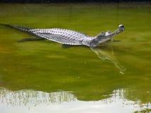 gavial ghara 免版税库存照片