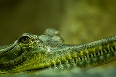 Gavial head and eye closeup. With green background Royalty Free Stock Image