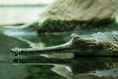 Gavial in het water royalty-vrije stock fotografie