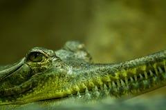 Gavial huvud och ögoncloseup Royaltyfri Bild