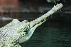 Gavial Indian detail. Head and teeth stock photos