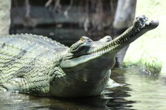 Gavial Indian detail. In the water stock photography