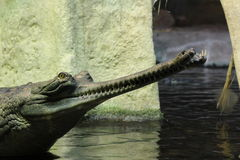 Gavial Indian detail. In the water stock image
