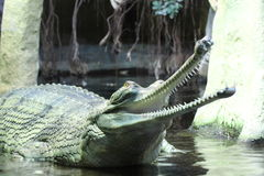 Gavial Indian detail. In the water stock photo