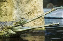 Gavial Royalty Free Stock Image