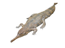 Gavial isolated Royalty Free Stock Images