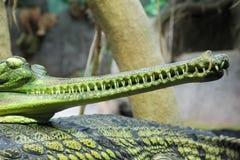Gavial krokodil för Gharial Gavialisgangeticus Fotografering för Bildbyråer