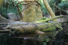 Gavial krokodil för Gharial Gavialisgangeticus Arkivfoton