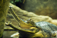 Gavial. With an open mouth in the pool Royalty Free Stock Photography