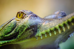 Gavial with open mouth and teeth Stock Photos