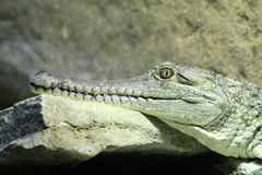 Gavial Royalty Free Stock Photos