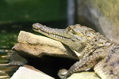 Gavial Royalty Free Stock Images