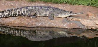gavial reflektera royaltyfri bild