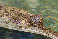 Gavial's eye Royalty Free Stock Photo
