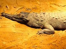 Gavial Sunbathing Stock Photo