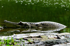 Gavial under the rain Royalty Free Stock Photos