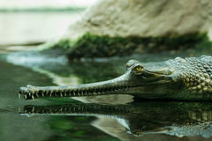 Gavial in the water. Waiting for its pray Royalty Free Stock Photography