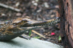 Gavialhead Alligator Stock Image