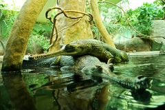 Gavialis gangeticus Obraz Royalty Free