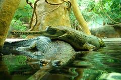 Gavialis gangeticus Fotografia Stock