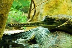 Gavialis gangeticus Fotografia Stock Libera da Diritti