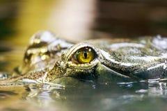 Gavialis gangeticus / Gharial - Critically En. Dangered fish-eating crocodile from India stock image