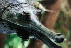 Gavialis gangeticus, Gharial, gawial szczęk szczegółu głowa Obrazy Stock