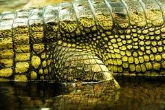 Gavials кожи Стоковое Изображение RF