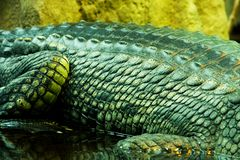 Gavials кожи Стоковые Изображения