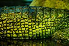 Gavials Стоковое Изображение