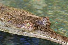 Gavials Auge lizenzfreies stockfoto
