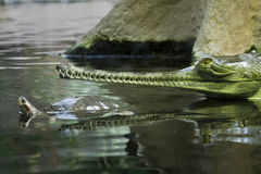 Gavials ed il Tortoise Fotografie Stock Libere da Diritti