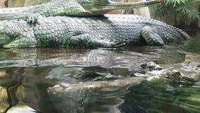 Gavials im Wasser stock video footage
