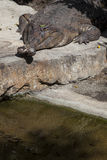 Gavialwith falso maxilas cruzadas Imagens de Stock