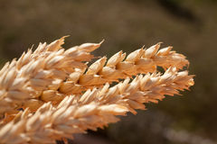 Gavilla de trigo debajo del sol Fotografía de archivo