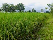 Gavillas de arroz Fotos de archivo libres de regalías