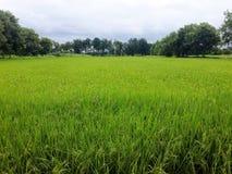 Gavillas de arroz Imagenes de archivo