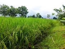 Gavillas de arroz Foto de archivo