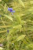 Gavillas de trigo Imagen de archivo