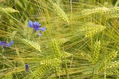 Gavillas de trigo Imagen de archivo libre de regalías