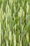 Gavillas de trigo Fotografía de archivo