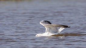 gaviota Amarillo-legged en el agua Fotos de archivo