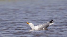 gaviota Amarillo-legged en el agua Foto de archivo libre de regalías