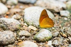 Gaviota anaranjada del nombre de la mariposa: Iudith de Cepora (Pieridae de Familly) Imagenes de archivo