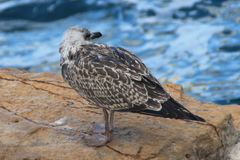 Gaviota argéntea ( Larus argentatus ). Young specimen of gull argentea. The European herring gull (Larus argentatus) is a large gull royalty free stock photos