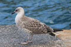 Gaviota argéntea ( Larus argentatus ). Young specimen of gull argentea. The European herring gull (Larus argentatus) is a large gull stock photography