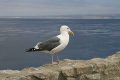 Gaviota blanca en la cerca de piedra en la playa Imagen de archivo libre de regalías