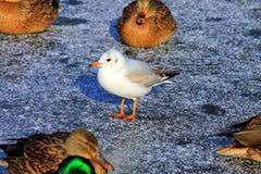 Gaviota blanca hermosa que se coloca en el hielo en invierno Foto de archivo libre de regalías