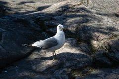 gaviota Blanco-gris que camina en la roca Imagenes de archivo